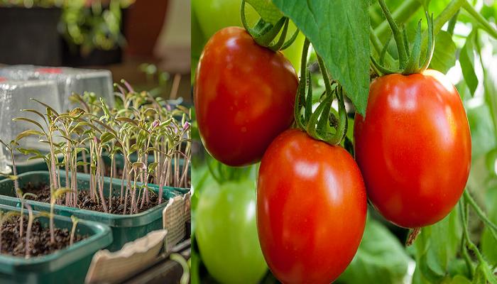 Como cultivar tomates paso a paso