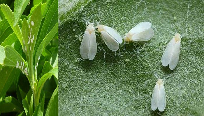 Como eliminar la mosca blanca de mis plantas