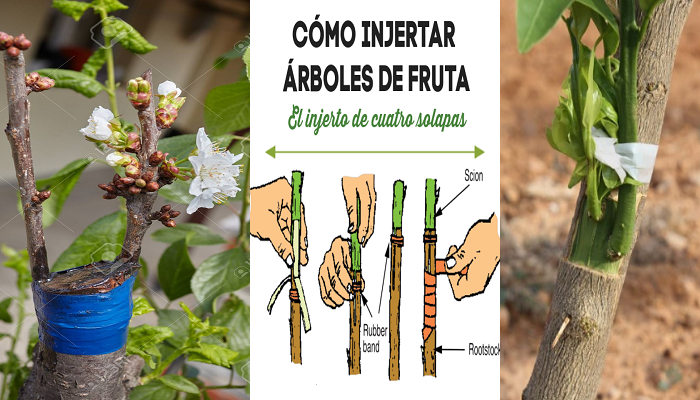 Como hacer injertos de arboles frutales