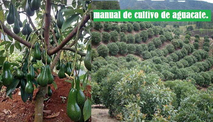 El exitoso Manual de Cultivo de Aguacate(palta)