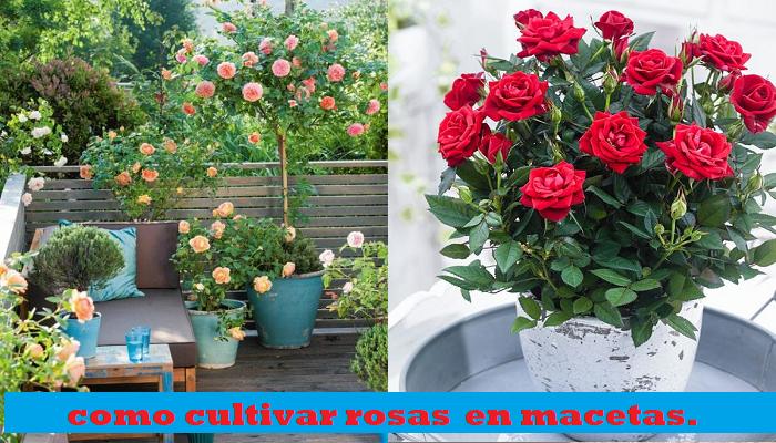 Como cultivar y cuidar rosas en macetas paso a paso.