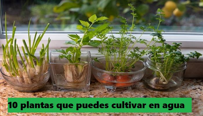 10 plantas aromáticas que puedes cultivar en agua