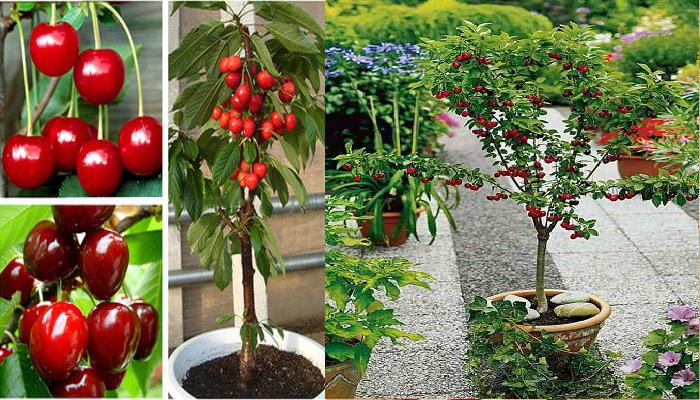 Como cultivar cerezas en casa a partir de las semillas en Maceta.