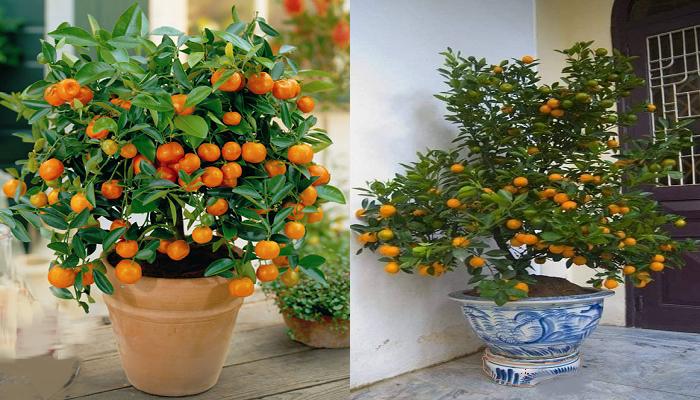 Como cultivar mandarinas de manera orgánica en macetas.