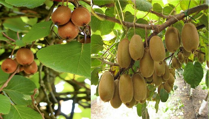 Exitoso-Manual de Cultivo del Kiwi. PDF.
