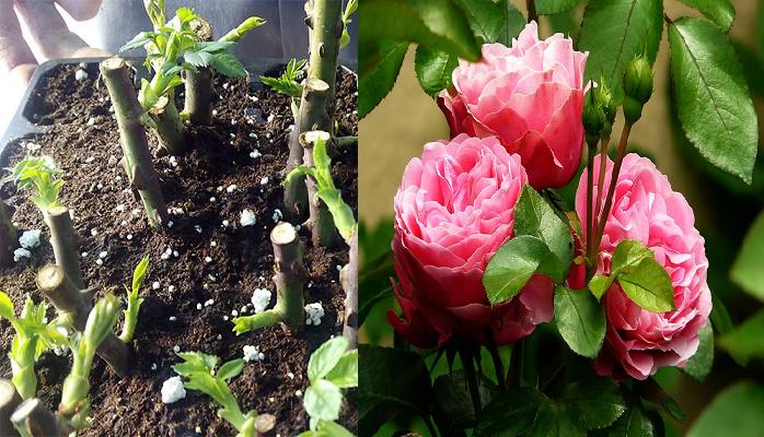 Cómo plantar una rosa a partir de un tallo paso a paso.