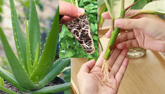 Cómo hacer enraizador para plantas con aloe vera